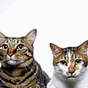 Japanese Cat And Manx Cat On White Background, Close-up Art Print