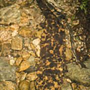Japanese Giant Salamander Art Print