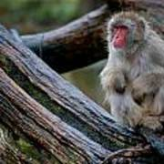 Japanese Macaque Art Print