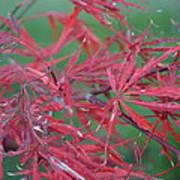 Japanese Red Leaf Maple Hybrid Art Print