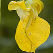 Jewelweed Flower 1 Art Print