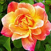 Joseph's Coat Rose Art Print