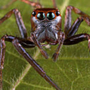 Jumping Spider Papua New Guinea Art Print by Piotr Naskrecki