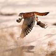 Kestral In Flight Art Print
