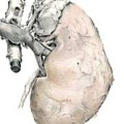 Kidney Anatomy, Artwork Art Print