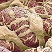 Kidney Glomerulus, Sem Art Print