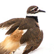 Killdeer - Show Off In The Spring Snow  Art Print
