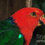 King Parrot - Male 2 Art Print