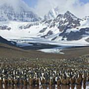 King Penguin Aptenodytes Patagonicus Art Print
