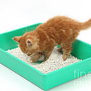 Kitten And Litter Tray Art Print