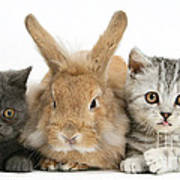 Kittens And Rabbit Art Print