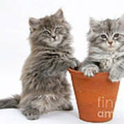 Kittens In Pot Art Print