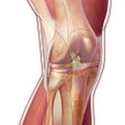 Knee Anatomy Art Print