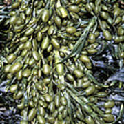 Knotted Wrack Seaweed Art Print