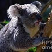 Koala In A Gum Tree Art Print