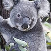 Koala In Tree Art Print