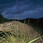 Komodo Dragon Varanus Komodoensis Art Print