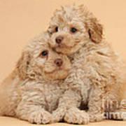 Labradoodle Puppies Art Print