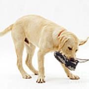Labrador X Golden Retriever Puppy Art Print by Jane Burton