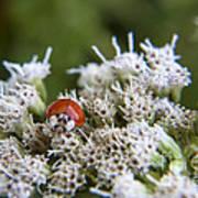 Ladybug Atop The Flowers Art Print
