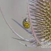 Ladybug Croosing The Prickles  Art Print