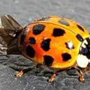 Ladybug Folding Wings Art Print