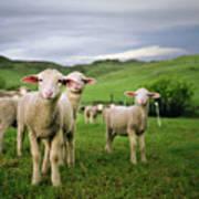 Lambs In Wyoming Art Print by Danielle D. Hughson