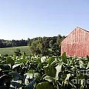 Landscape Soybean Field In Morning Sun Art Print
