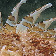 Large-scaled Scorpionfish Art Print