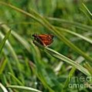 Large Skipper Butterfly Art Print