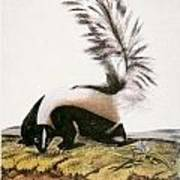 Large Tailed Skunk Art Print
