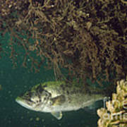 Largemouth Bass Art Print