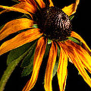 Last Day Of A Black-eyed Susan Art Print