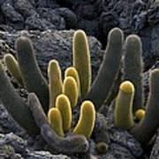 Lava Cactus (brachycereus Nesioticus) Art Print
