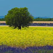 Lavender And Colza In Summer, Provence, France Art Print
