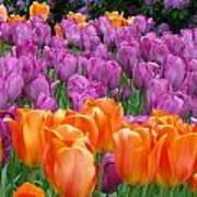 Lavender And Orange Tulips Art Print