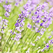 Lavender Blooming In A Garden Art Print