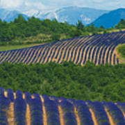 Lavender Fields, Provence, France Art Print