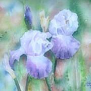 Lavender Iris Art Print