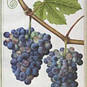 Le Moyne: Grape Vine, C1585 Art Print