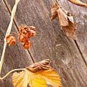 Leaf And Old Wood Fence Art Print