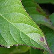 Leaf Blemish Art Print