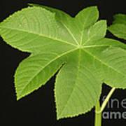 Leaf Of Castor Bean Plant Art Print