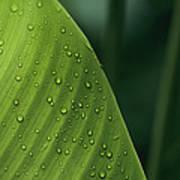 Leaf With Water Drops, Barro Colorado Art Print
