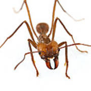 Leafcutter Ant Worker Costa Rica Art Print