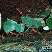 Leafcutter Ants Art Print