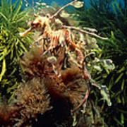 Leafy Sea Dragon Art Print by Peter Scoones