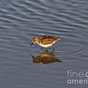 Least Sandpiper Art Print