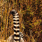 Lemur Tail Art Print