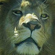 Leo,lion Art Print
